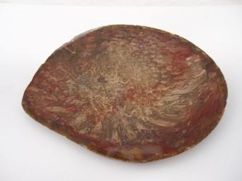 Petrified Tree Fern from Wandoan
